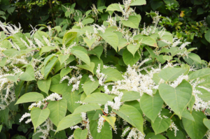 How to identify Japanese knotweed near your home