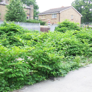 Getting a mortgage on a property with Japanese knotweed