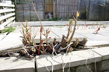 Japanese Knotweed – Not to be ignored and Not a chain breaker