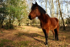 New_Forest_Pony_England