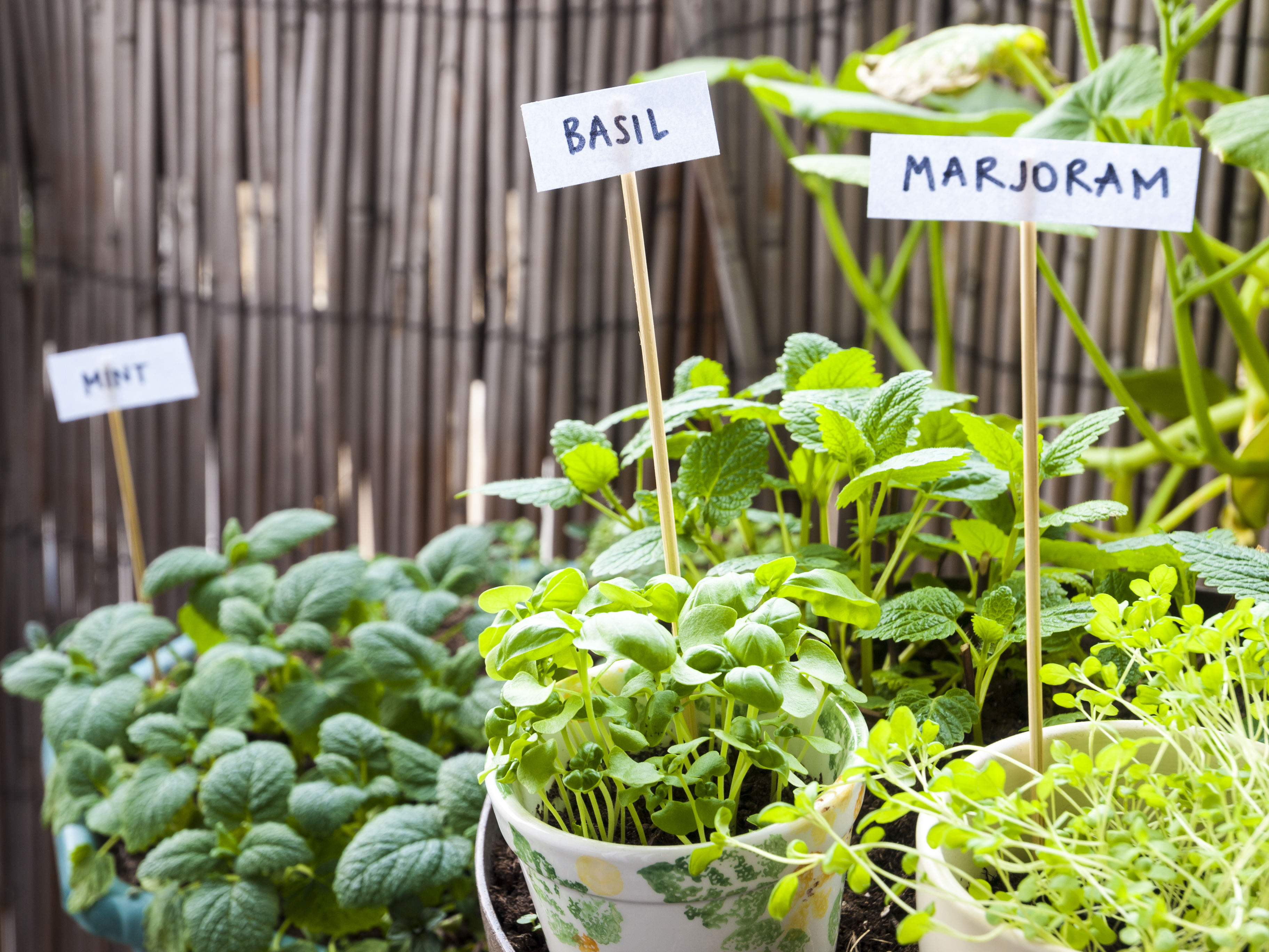 Basil, marjoram, balm-mint, and mint in flower pots in balcony. Organic, pesticide free gardening.